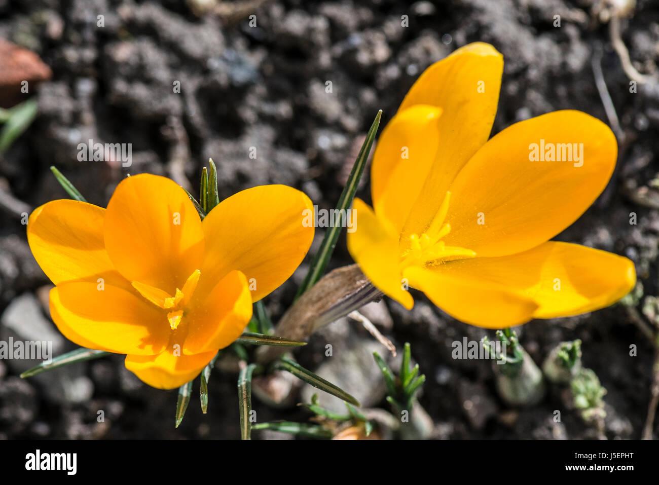 Iridaceae Crocoideae Flower Garden Stock Photos Iridaceae