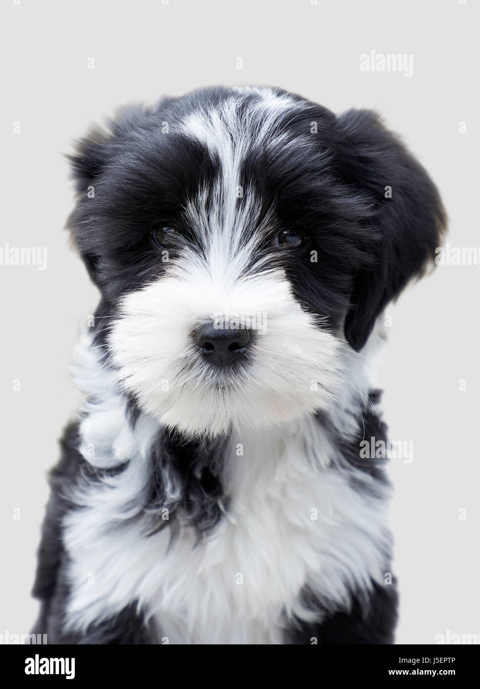 Sitting portrait of a black and white Tibetan Terrier puppy dog called Millie - Stock Image