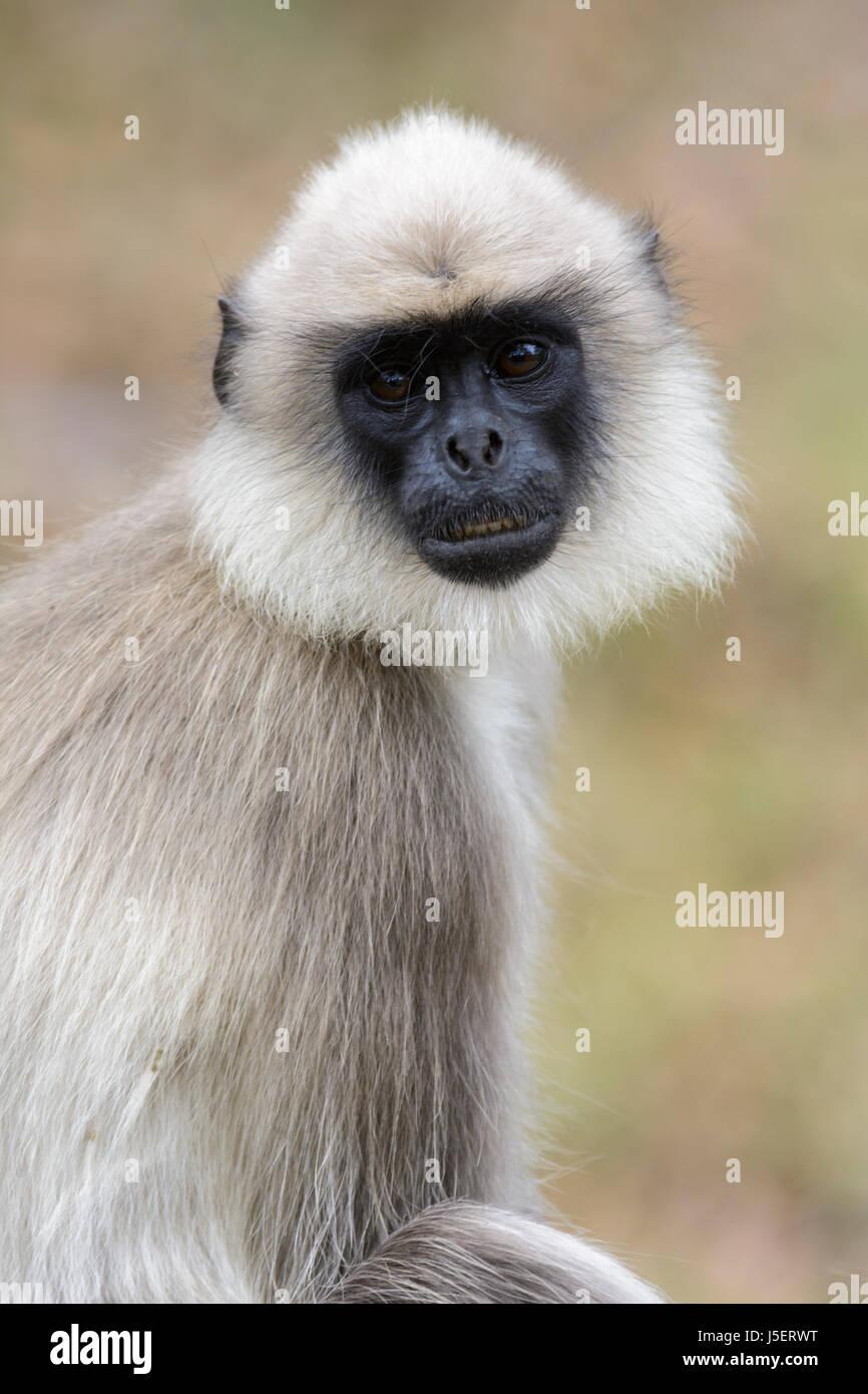 Portrait of a Gray langur monkey (or Hanuman langur (Semnopithecus) at Wayanad Wildlife Sanctuary, Tholpetty, Kerala, - Stock Image
