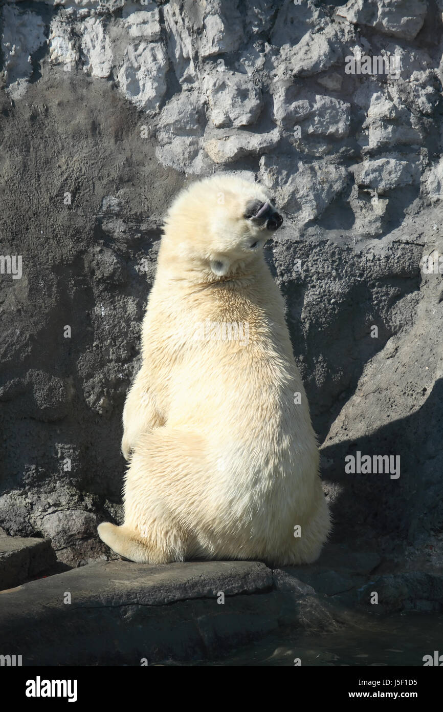 Blind Alley Funny Polar Bear Looking Up Against Big Stone Wall