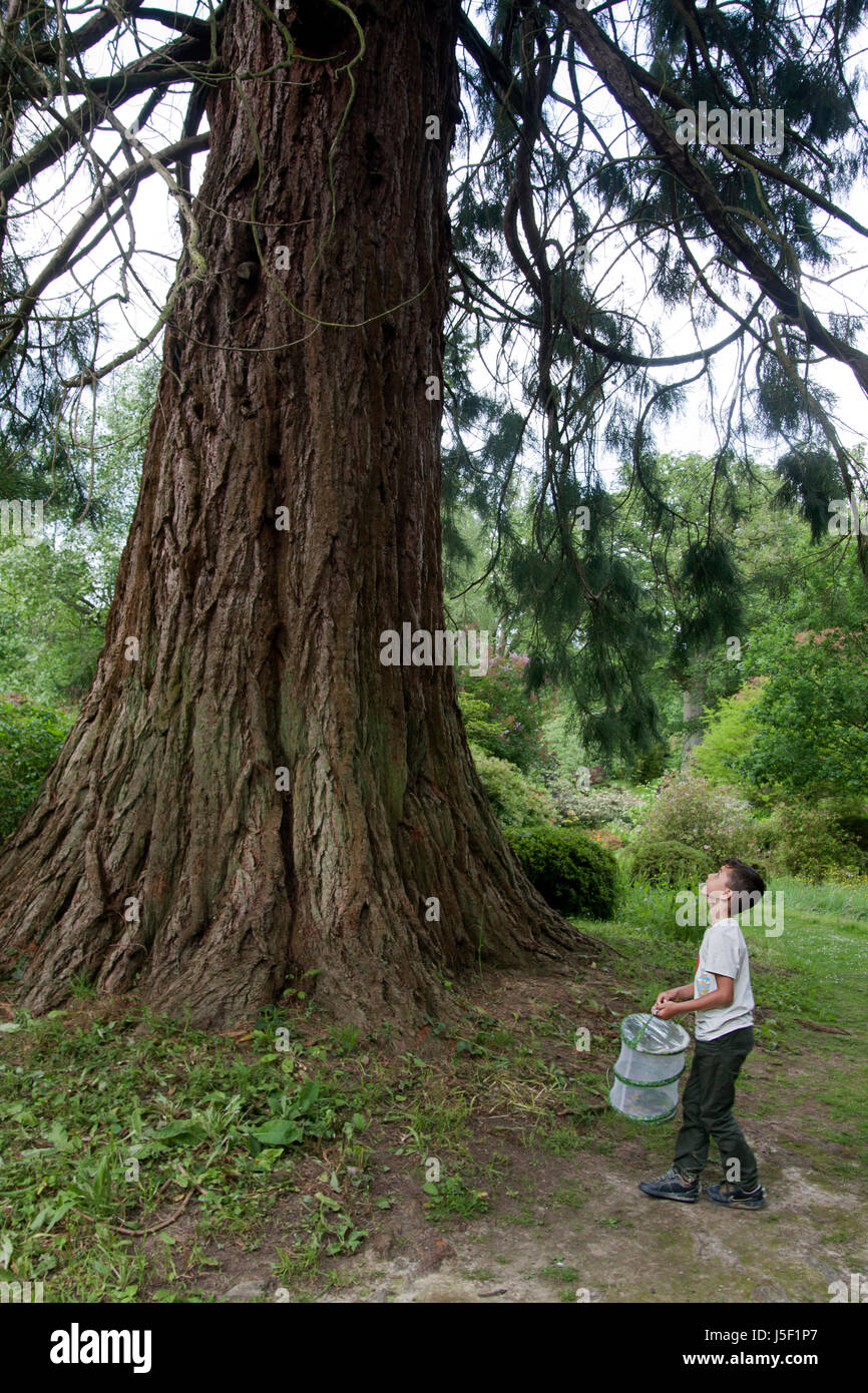 Little boy holding bug catcher standing by redwood tree, Ramster Gardens near Petworth, West Sussex - Stock Image