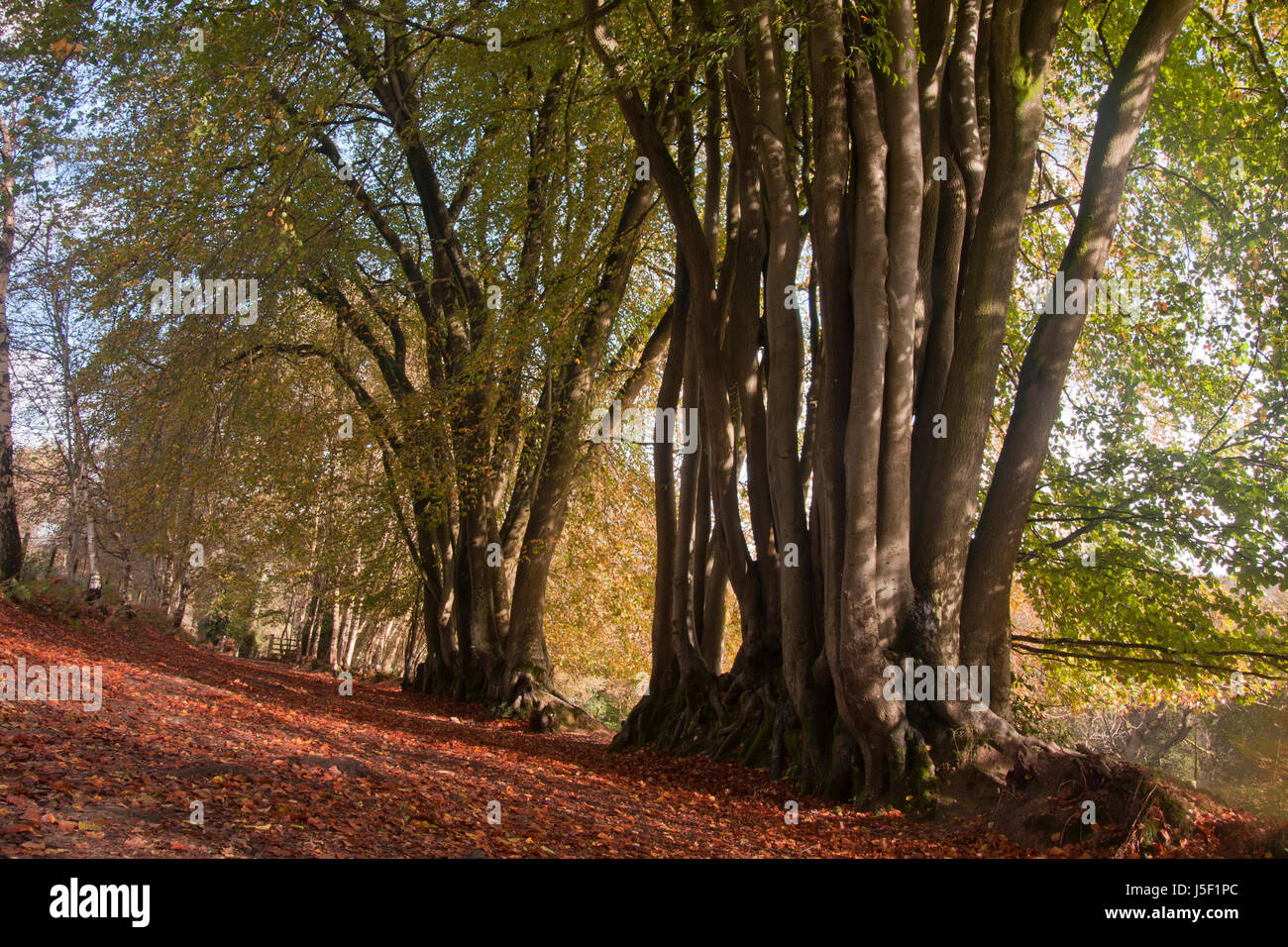 ancient beech trees (fagus sylvatica), Devils Punchbowl,largest spring-sapped valley in Britain dating  back to - Stock Image