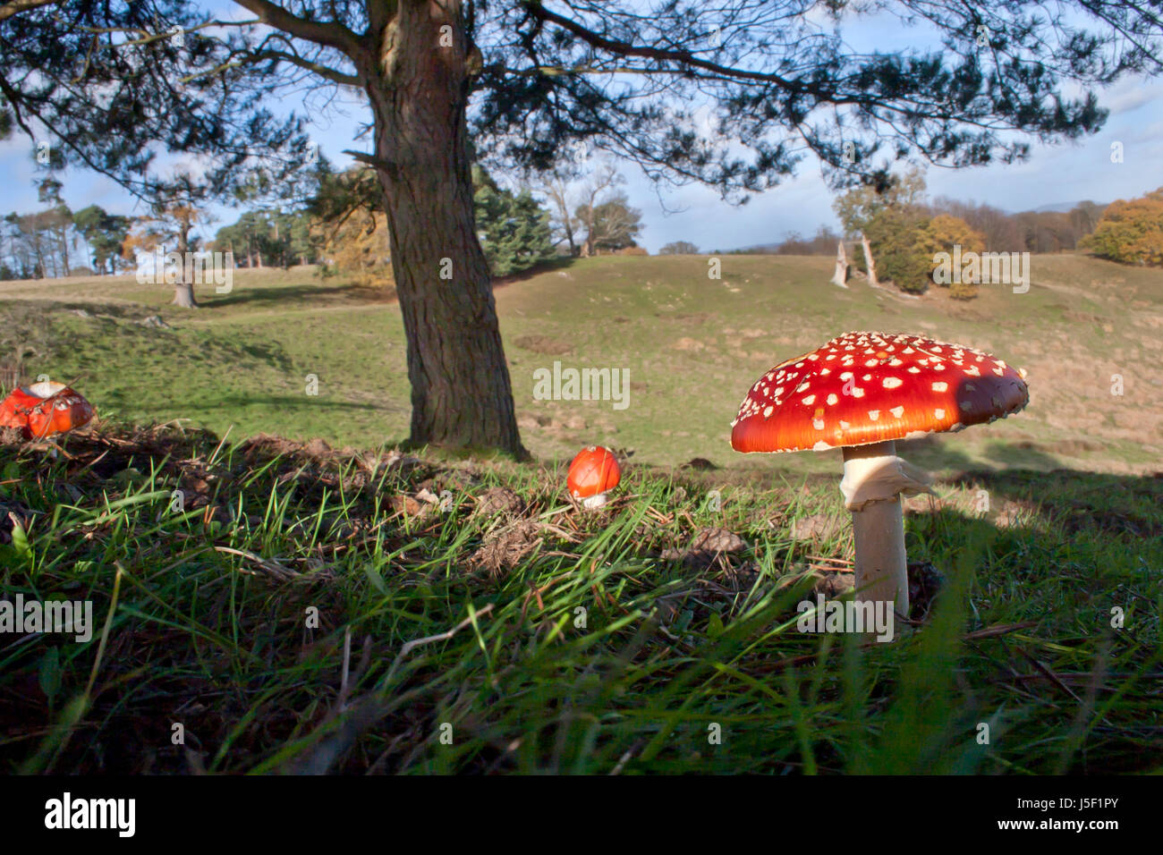 fly agaric (Amanita muscaria), fruiting bodies, Petworth Park, West Sussex - Stock Image