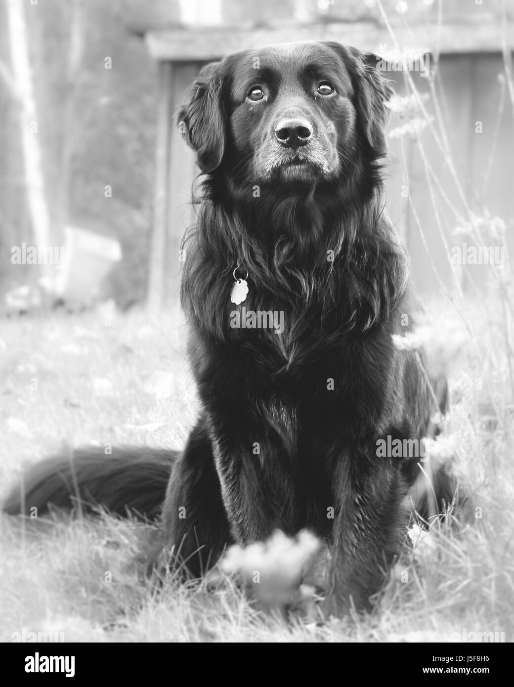 Black dog with serious look on his face waits looking lost and forlorn in Upstate New York. - Stock Image