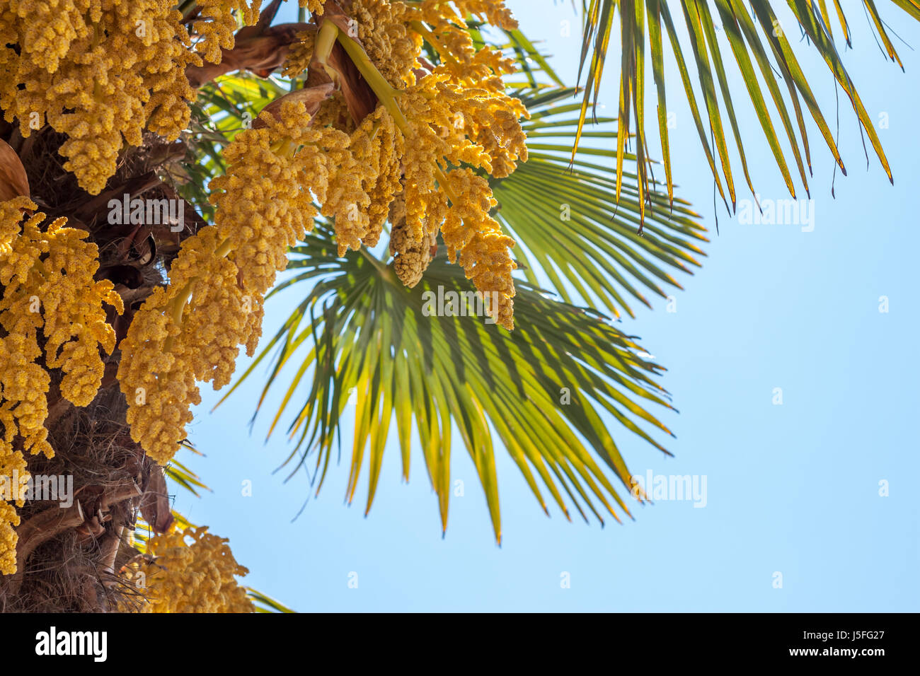 Palm Tree Flower Yellow Stock Photos Palm Tree Flower Yellow Stock