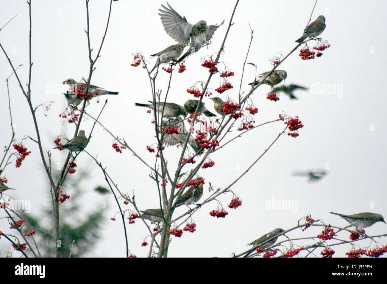 resin visit rowan berries pull rowan berry rowan tree hibernate journey through Stock Photo