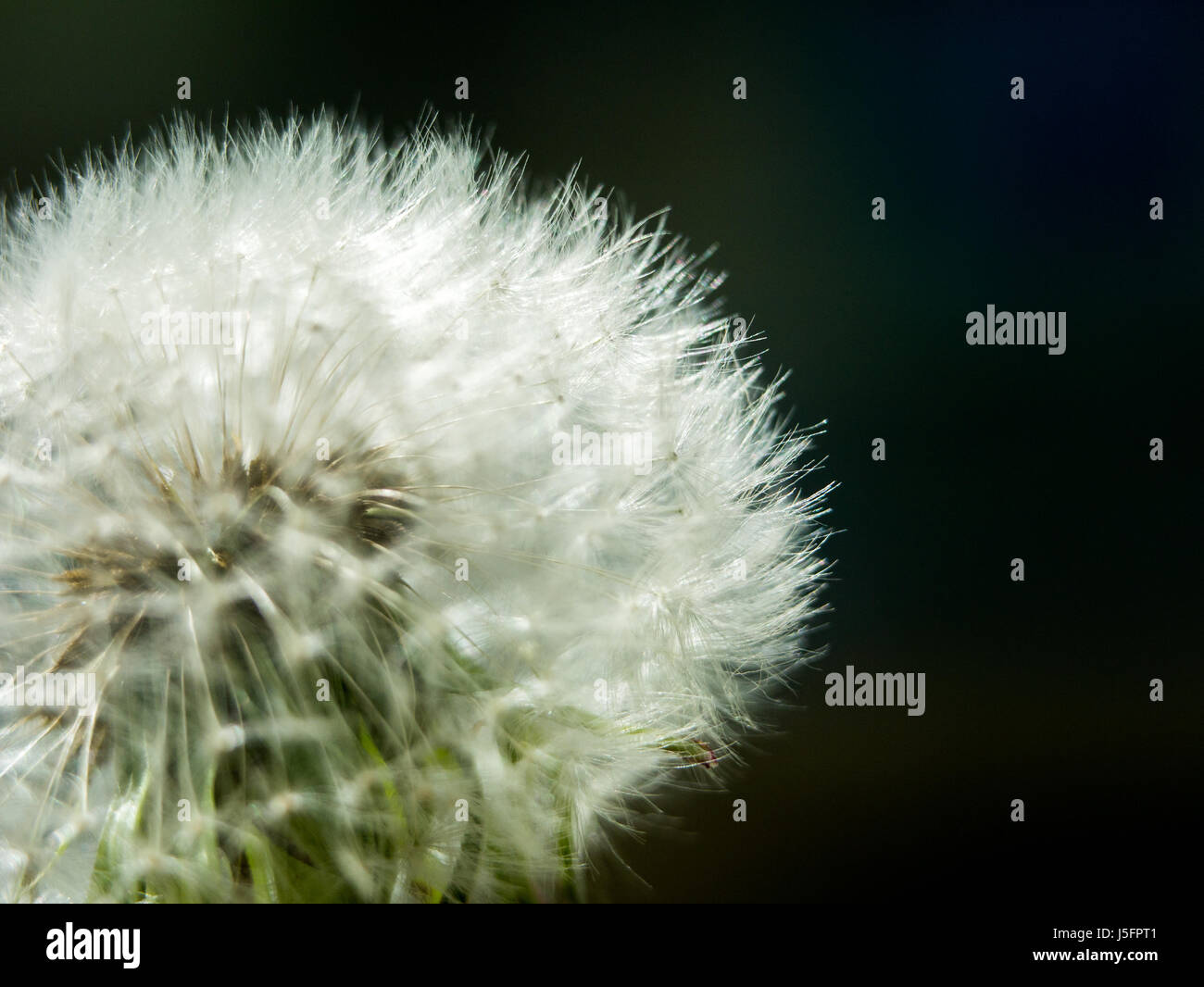 Dandelion blowball against a dark background, the concept of spring flowering lightness and brittleness. - Stock Image
