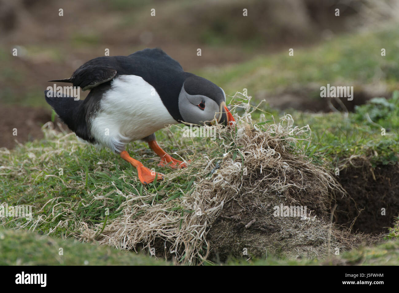 Puffin trying to dislodge nest building material on the Scottish island of Lunga - Stock Image