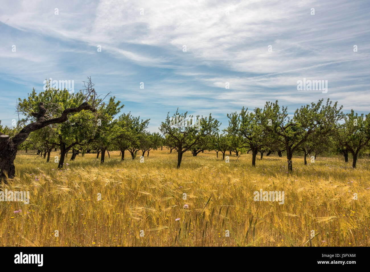 Farming in Mallorca with trees and cereals being grown, Majorca, Balearic Islands, Spain Stock Photo
