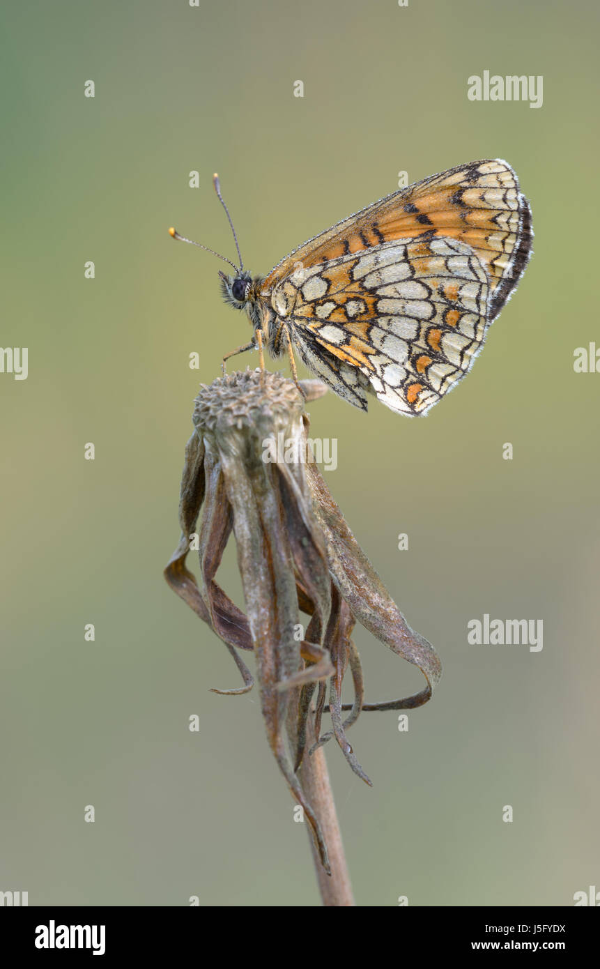 Heath Fritillary - Melitaea athalia - Stock Image