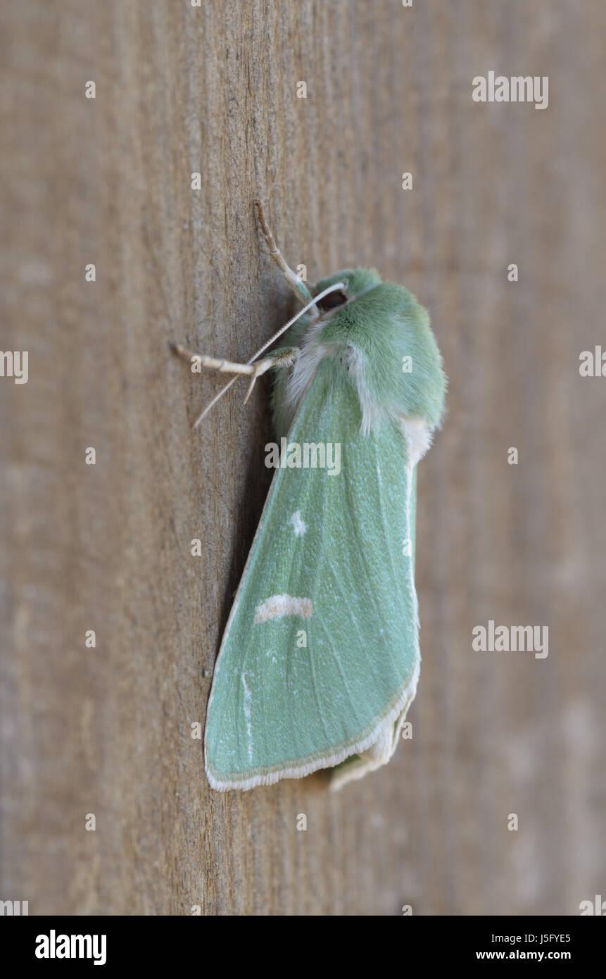 Burren Green - Calamia tridens - Stock Image