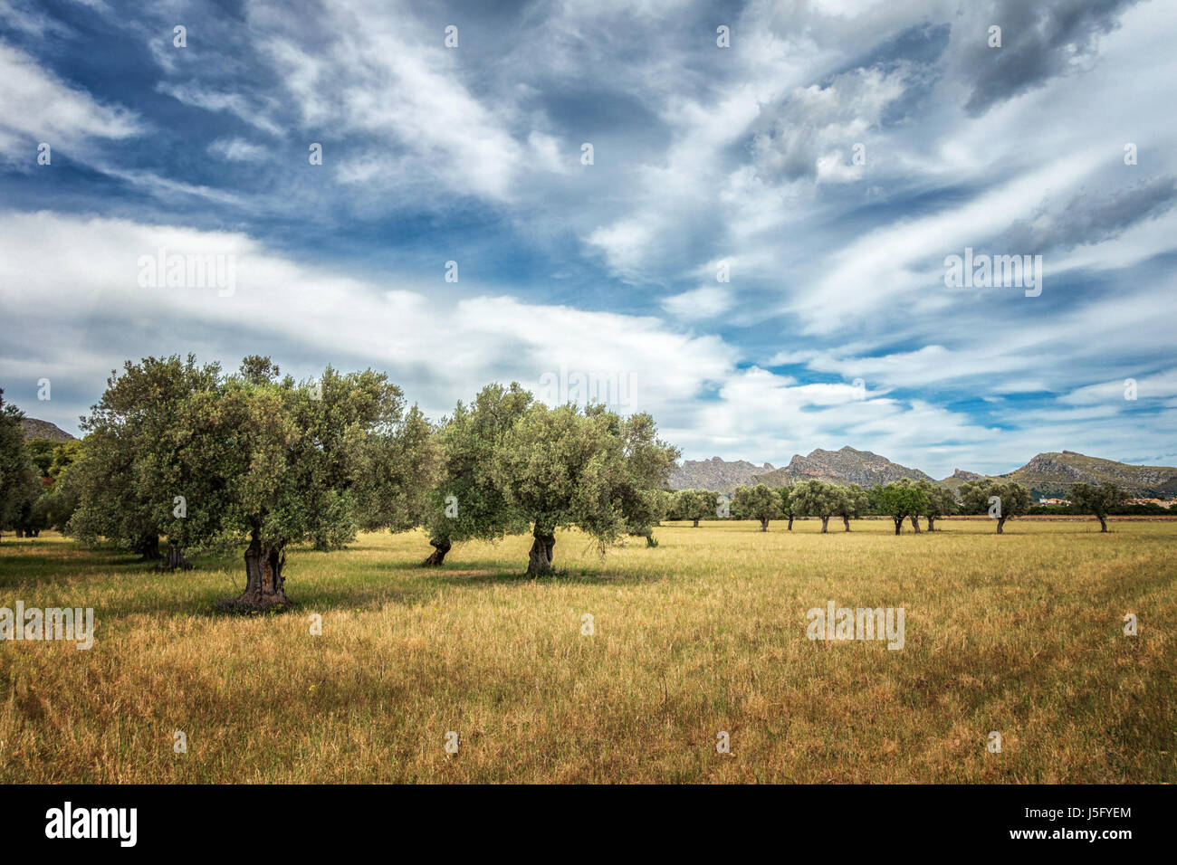 Old olive trees in a field in north Mallorca with a mountain backdrop and stunning sky, Majorca, Balearic Islands, - Stock Image