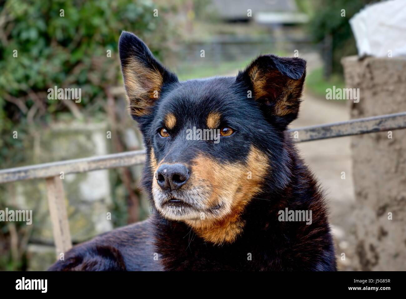 A sharply rendered portrait of 'Ross' the Kelpie Collie Cross Dog who works hard as a sheepdog taking a - Stock Image