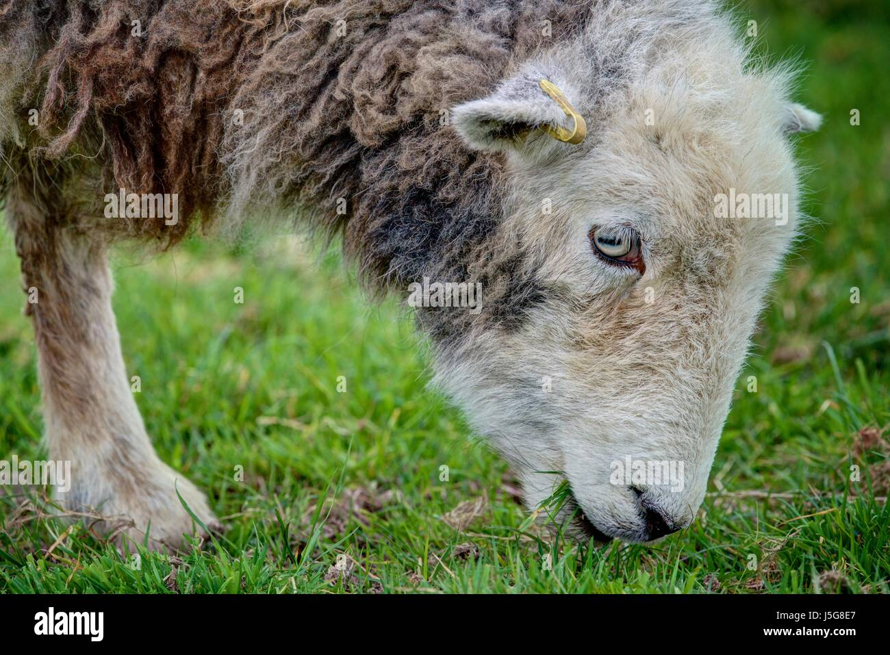 A close up portrait of a sharply rendered Herdwick ewe browsing on a green grass field. The sheep are respected - Stock Image