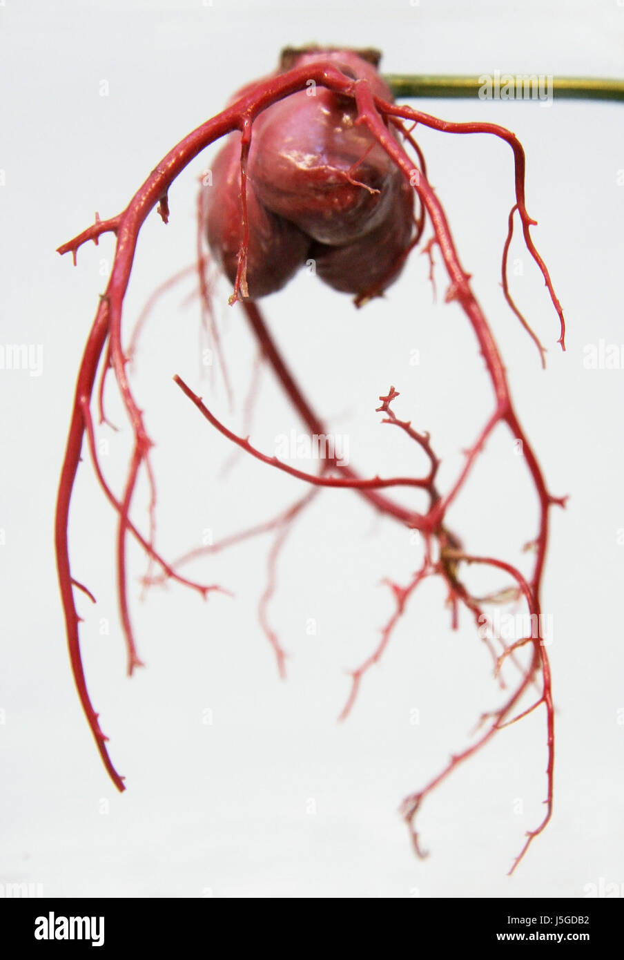 medicinally medical branches branch heart blood veins plastic Stock ...