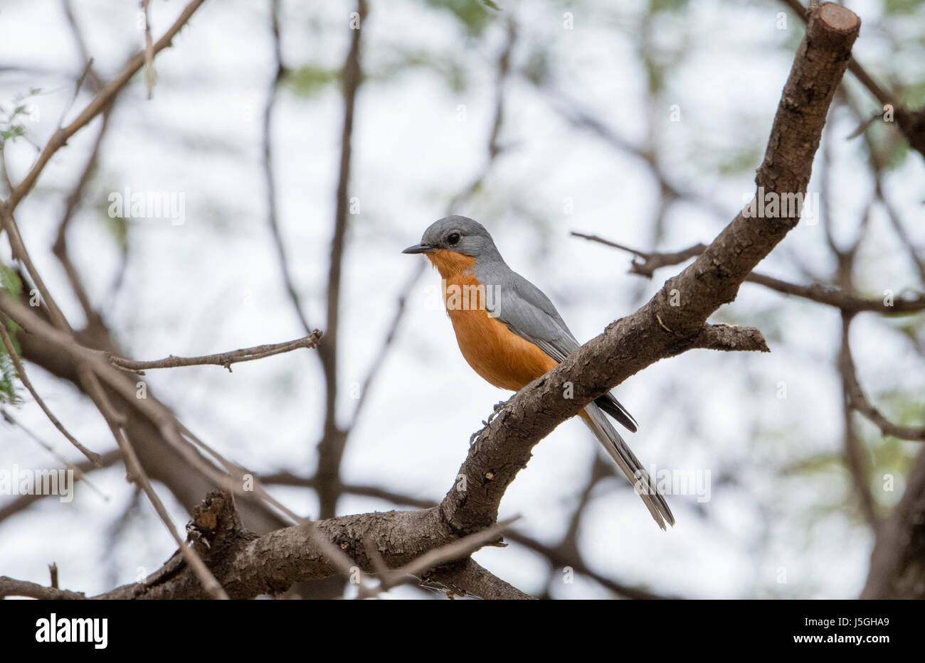 Silverbird (Melaenornis semipartitus) Perched on Branch in Northern Tanzania - Stock Image