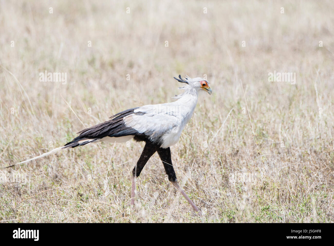 Secretary Bird (Sagittarius serpentarius) on the Plains of the Serengeti in Northern Tanzania Stock Photo