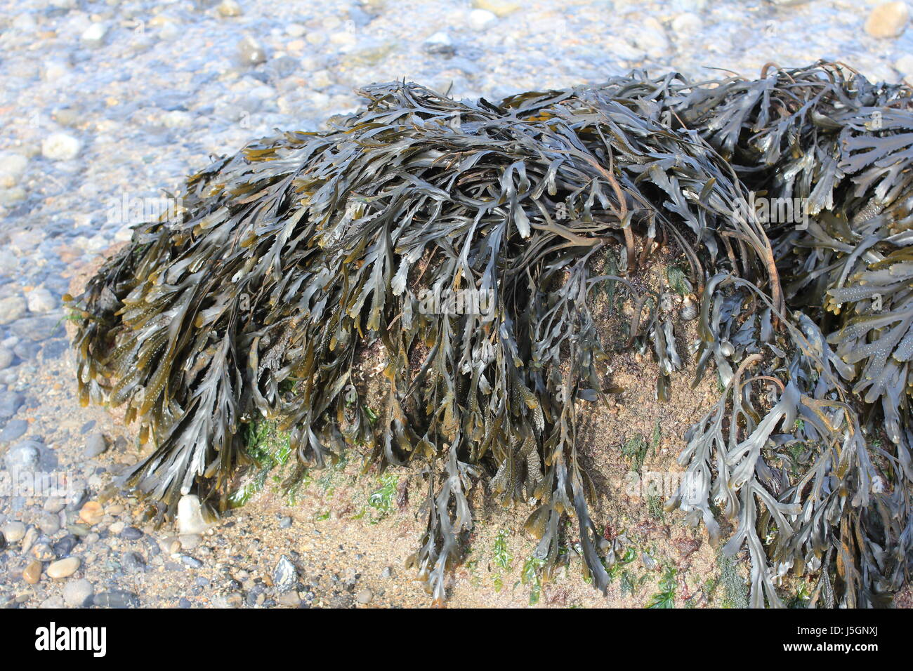 seaweed stranded at high tide. - Stock Image