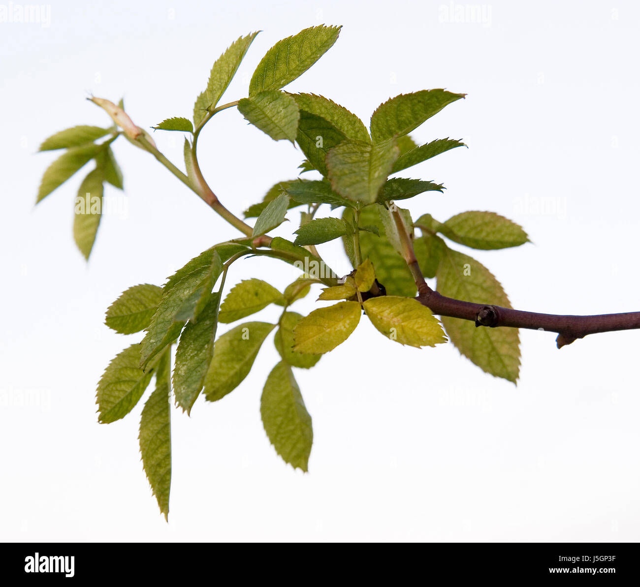 winter,flower,rose,plant,coloured,counter-light,branch,hedge,dog rose,belated - Stock Image