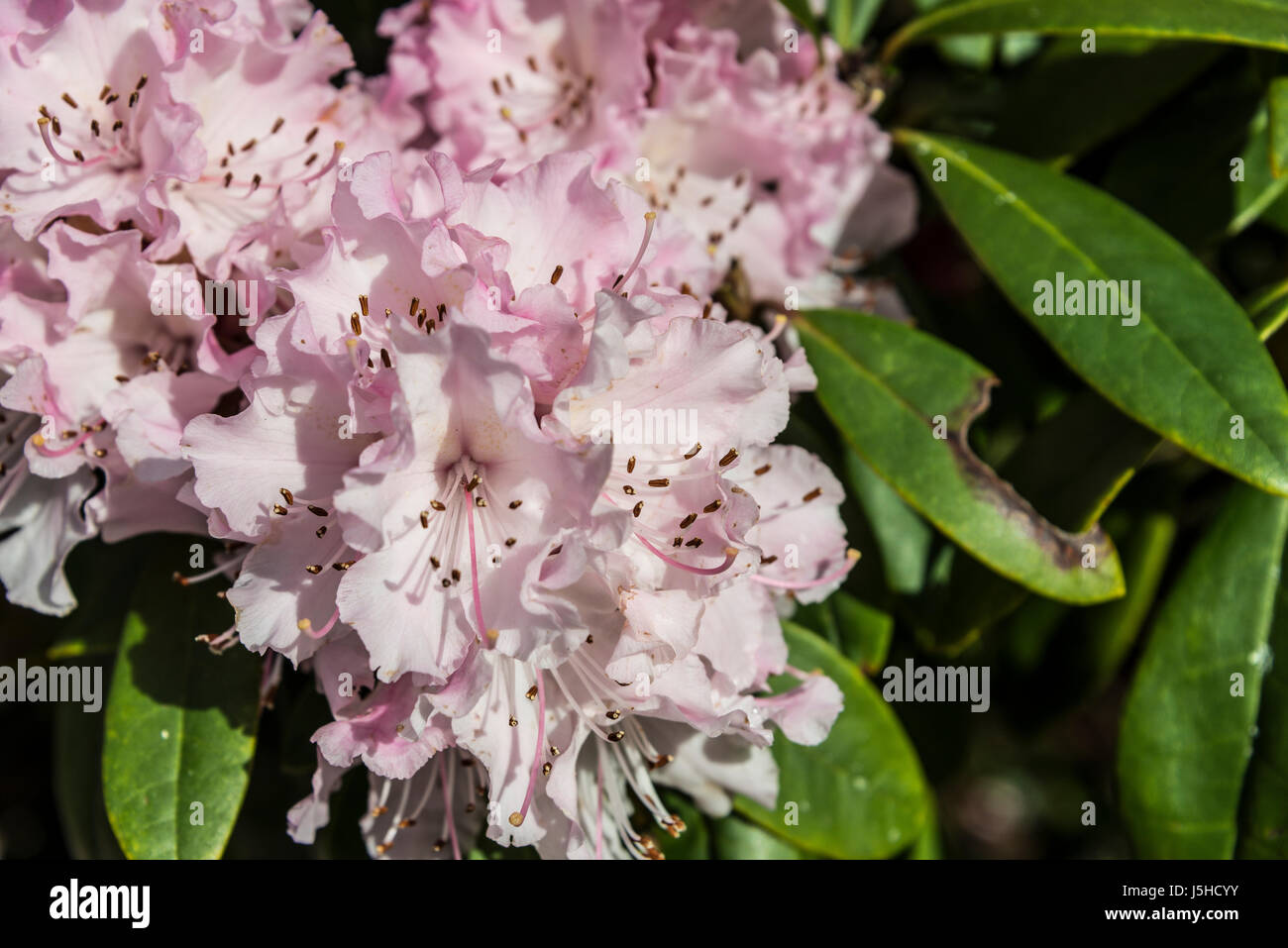 Rhododendron 'Christmas Cheer' in flower in spring - Stock Image