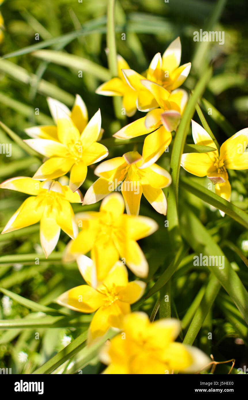 Many wild yellow small tulips growing in ukrainian park in Kyivspringtime Stock Photo