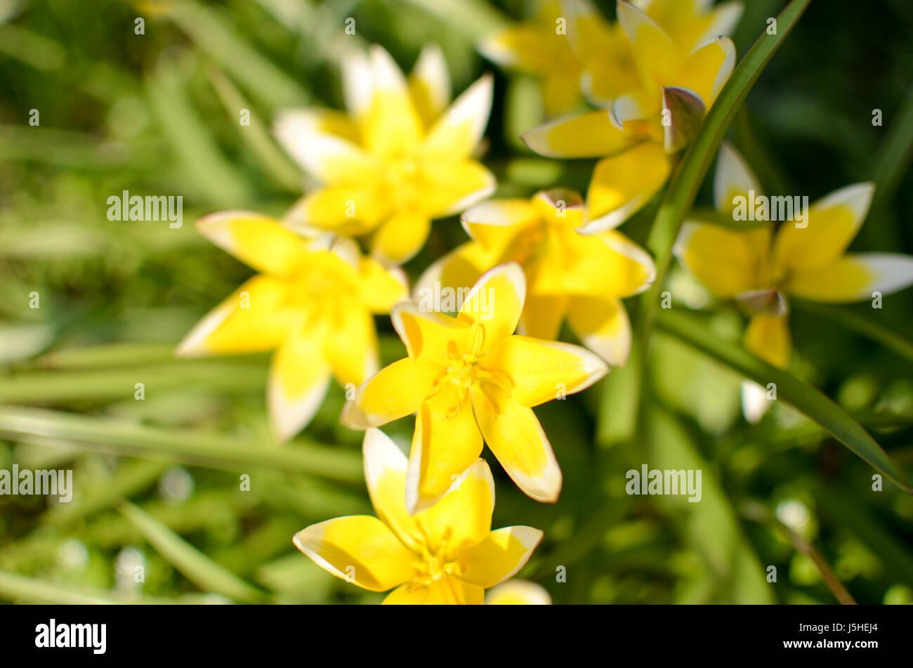 Many wild yellow small tulips growing in ukrainian park in Kyivspringtime Stock Photo
