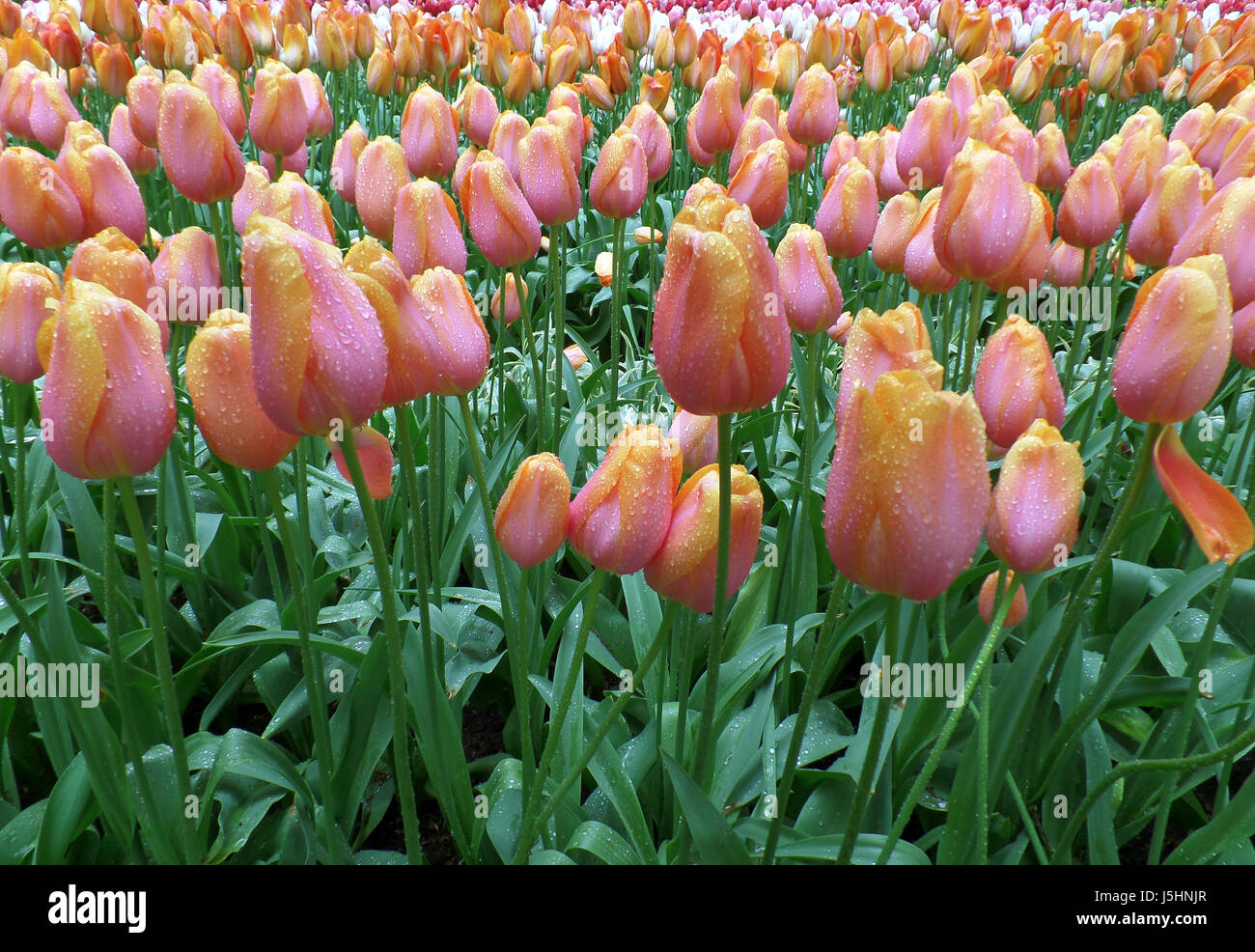 Bunch of Blooming Pink and Yellow Two-Tone Tulip Flowers with Raindrops - Stock Image