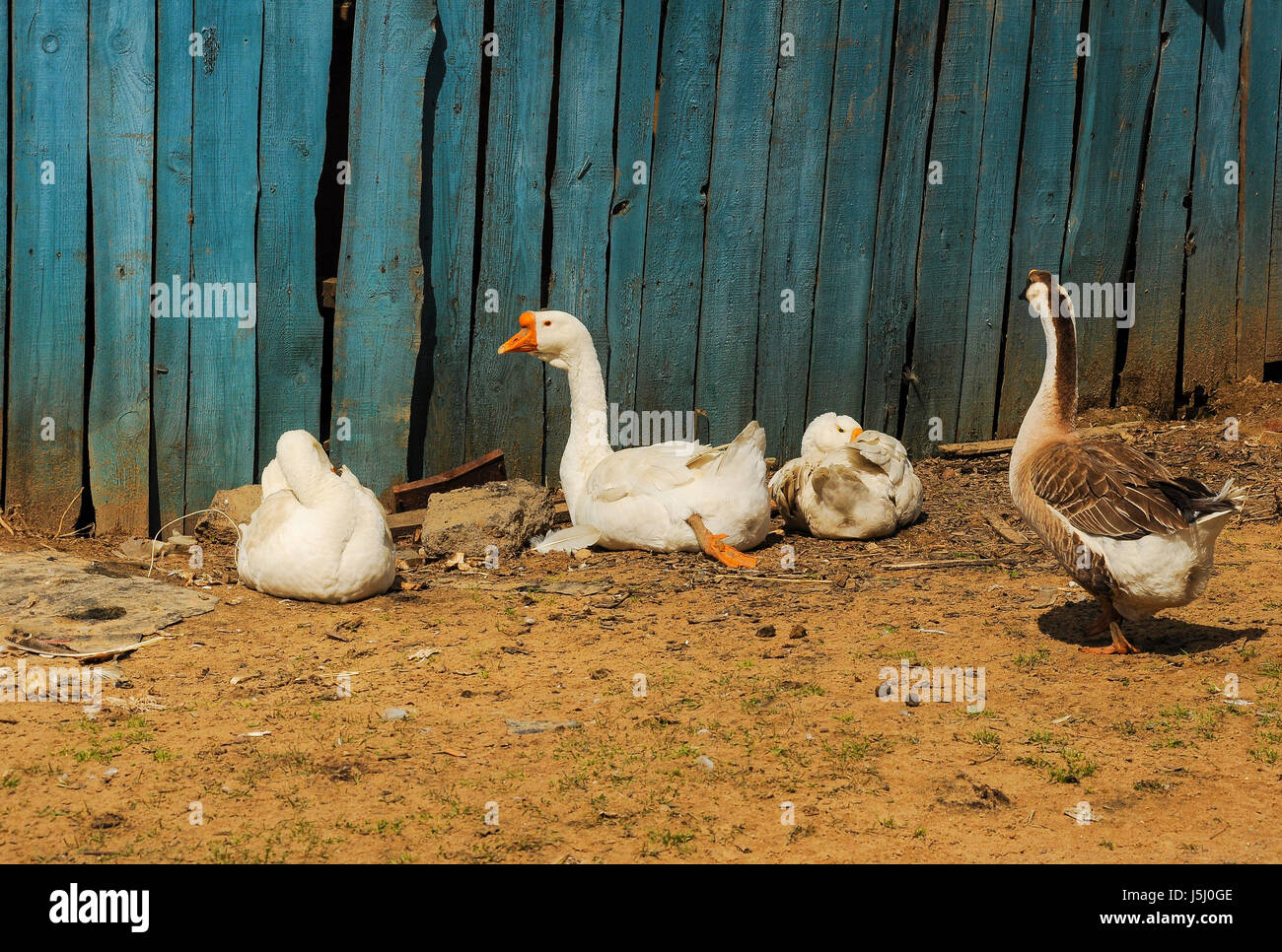 Poultry walking in the fresh air. - Stock Image