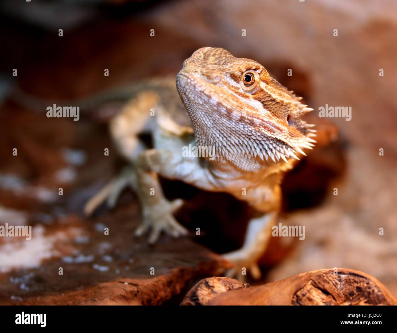 Desert Wasteland Pet Reptile Australia Prickle Hovel Heat Terrarium