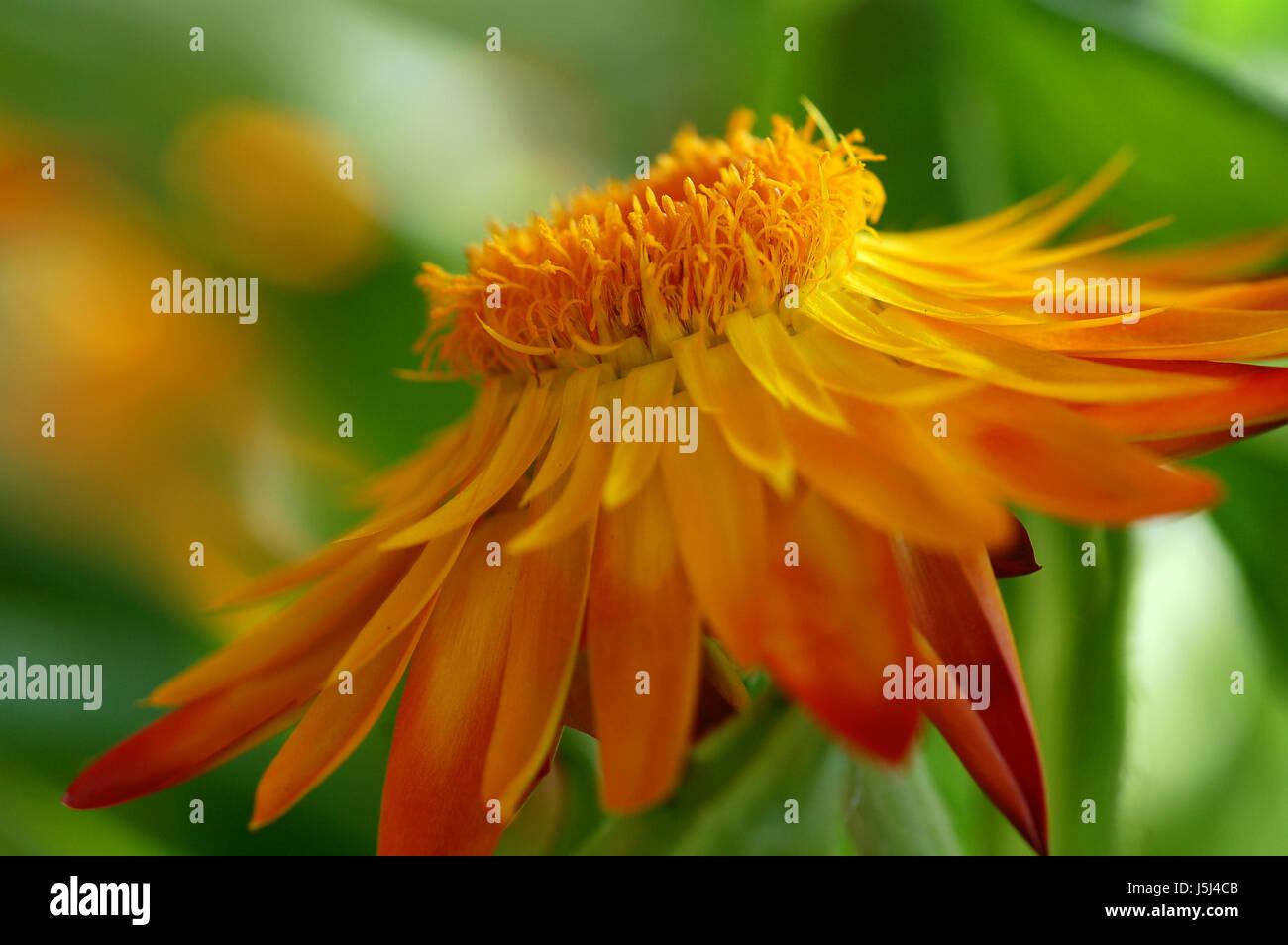 helichrysum - diagonal version - Stock Image