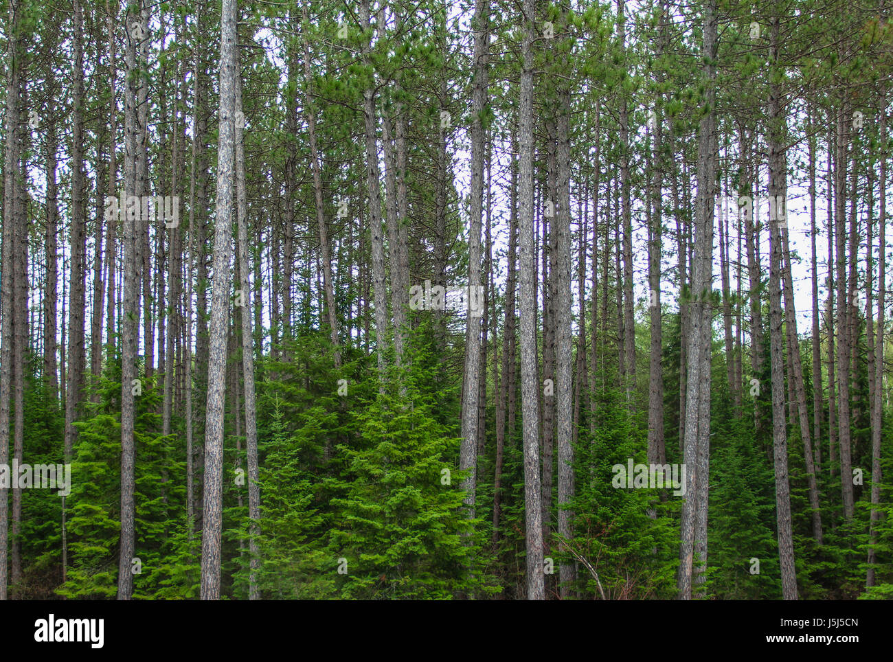 Pines and spruces spring background, Algonquin Provincial Park, Ontario, Canada Stock Photo