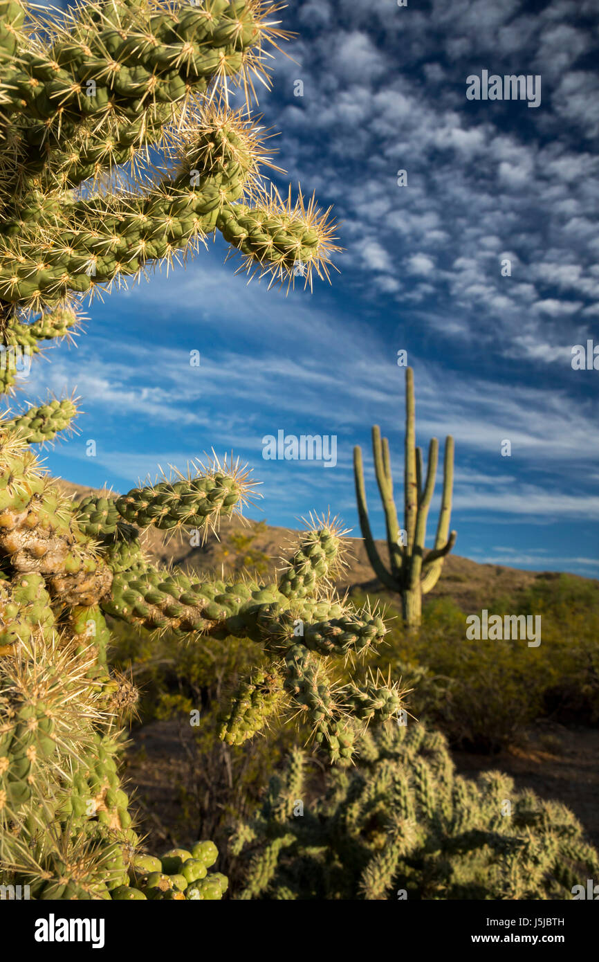 Tucson, Arizona - Cholla and saguaro cactus in the Cactus Forest in the Rincon Mountain District of Saguaro National Stock Photo