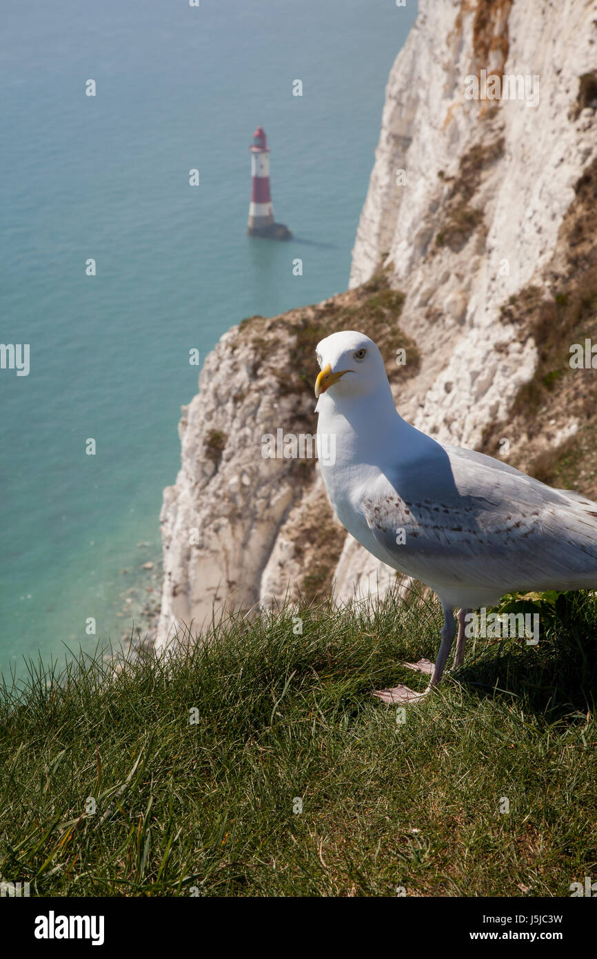 Seagull and Beachy Head Lighthouse, Sussex Stock Photo