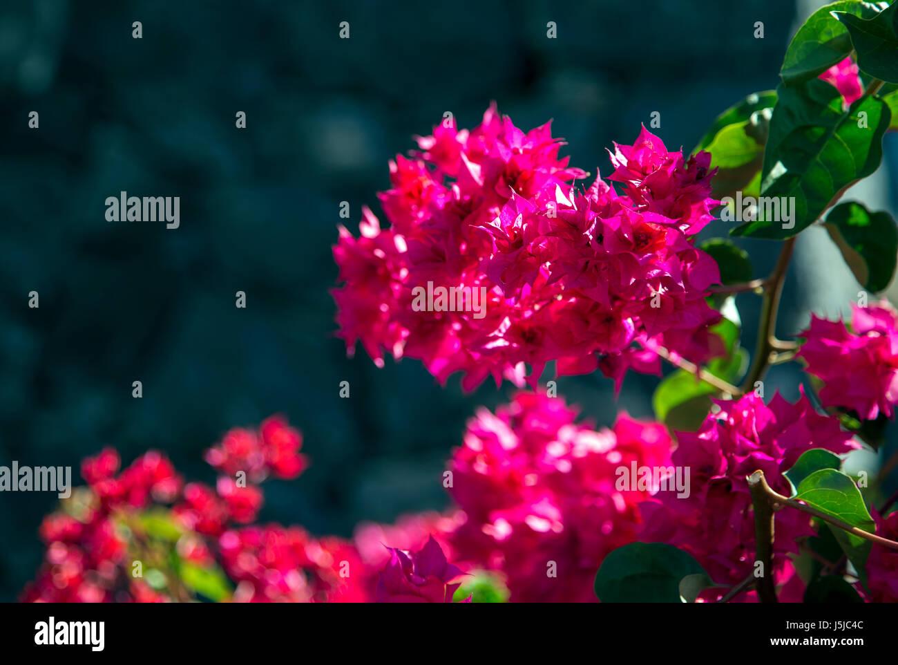 Small fuchsia flowers (Bougainvillea Glabra) close-up, Tenerife, Spain - Stock Image
