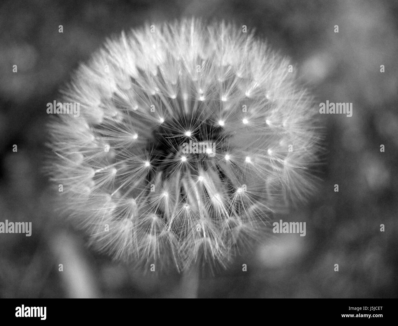 dandelion clock on a dark background - Stock Image