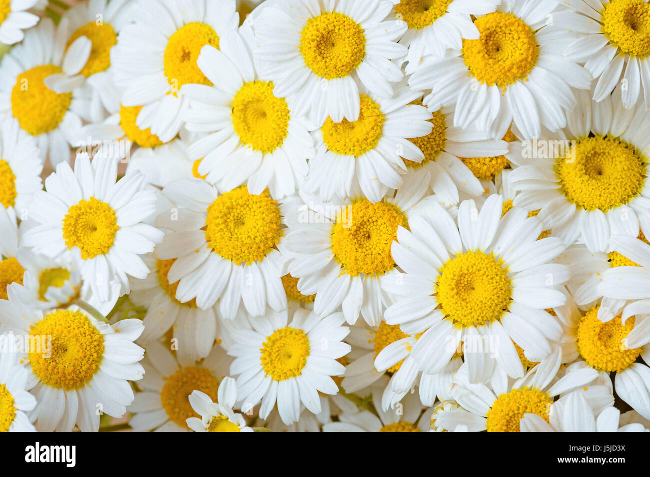 Wild Chamomile White Daisy Flowers Selective Focus Rustic Summer Background