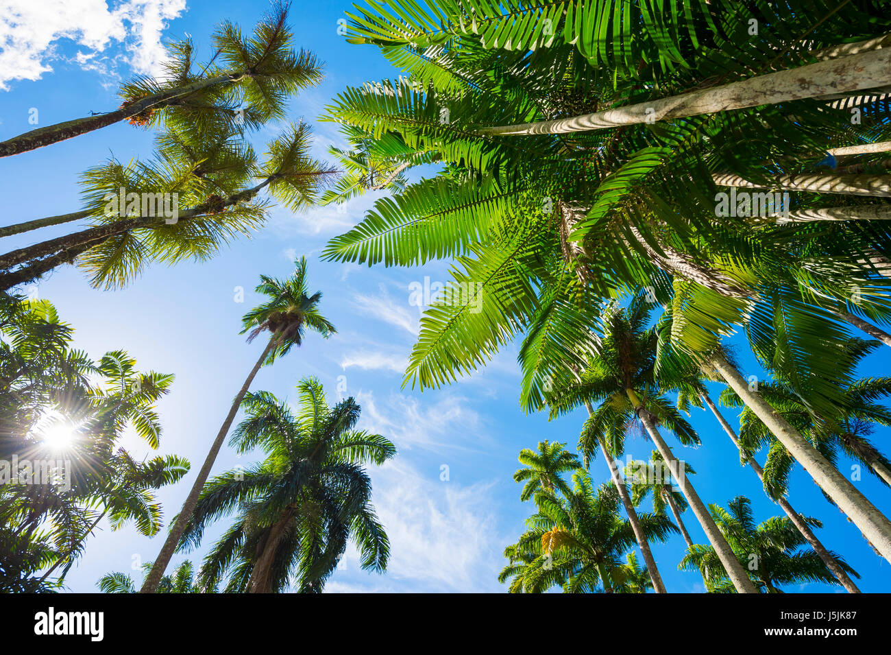 Tall royal palm trees share the bright blue tropical sky with shorter palm fronds in Rio de Janeiro, Brazil - Stock Image