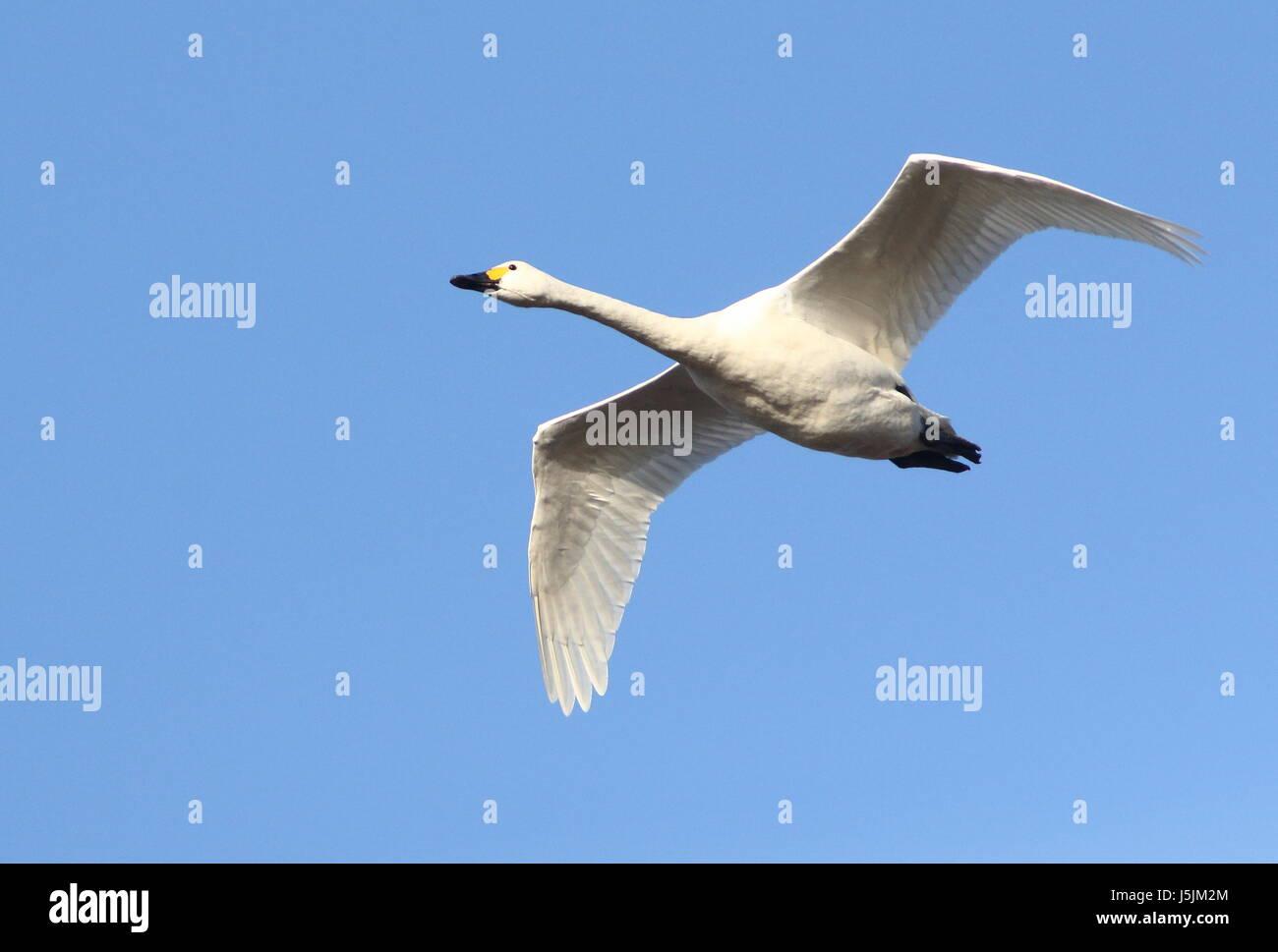 Eurasian Whooper Swan (Cygnus Cygnus) in fast flight against a blue sky. Stock Photo