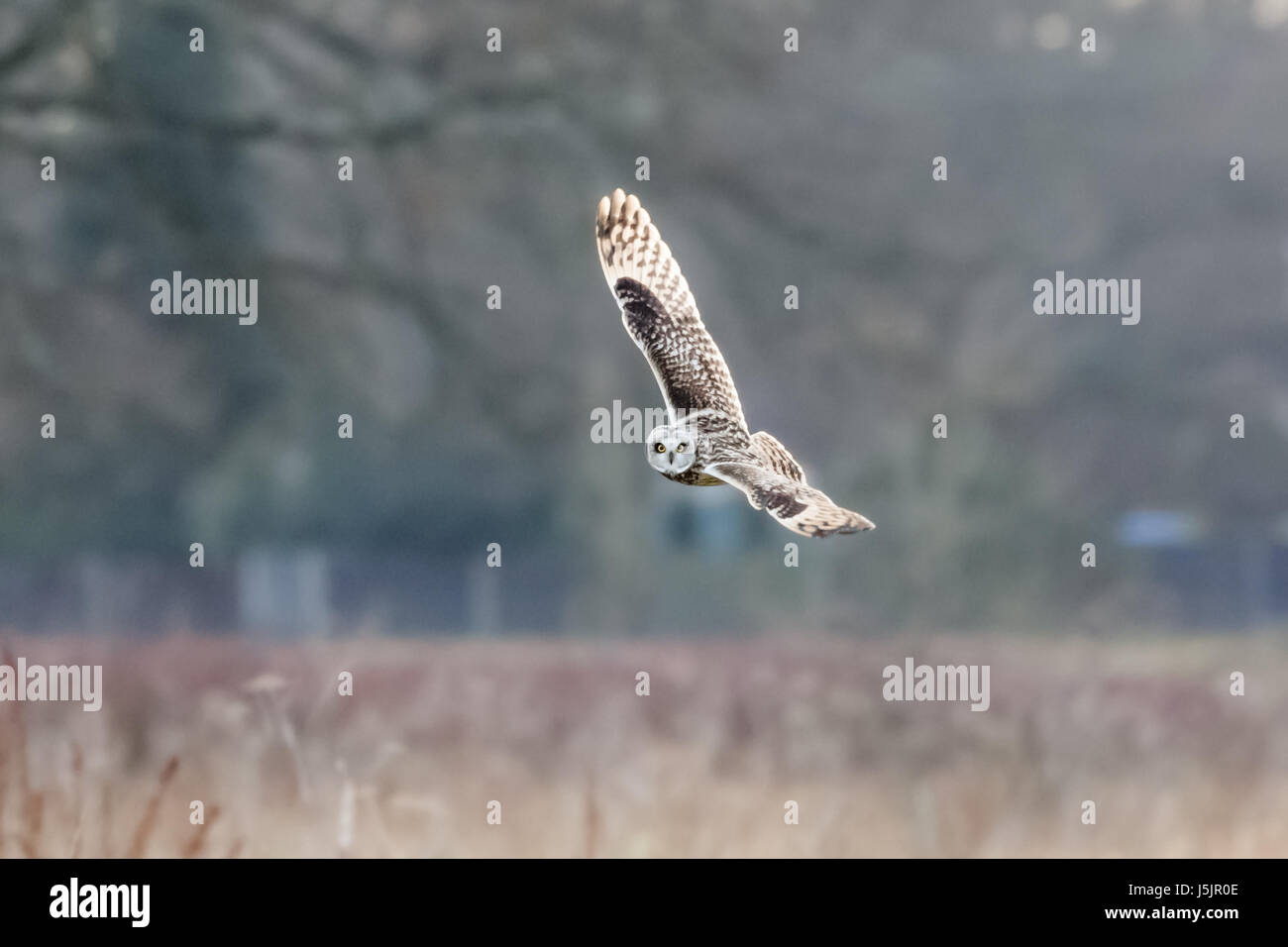 Short-eared Owl (Asio flammeus)  hunting banking flying over meadow - Stock Image