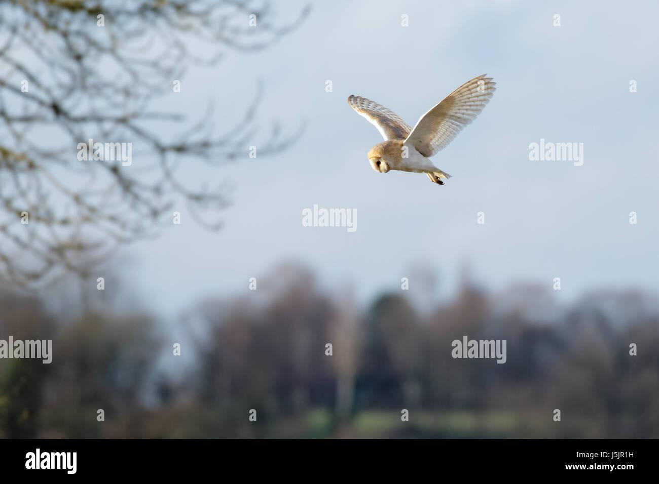 Single Barn Owl (Tyto alba) hunting hovering over  meadow - Stock Image