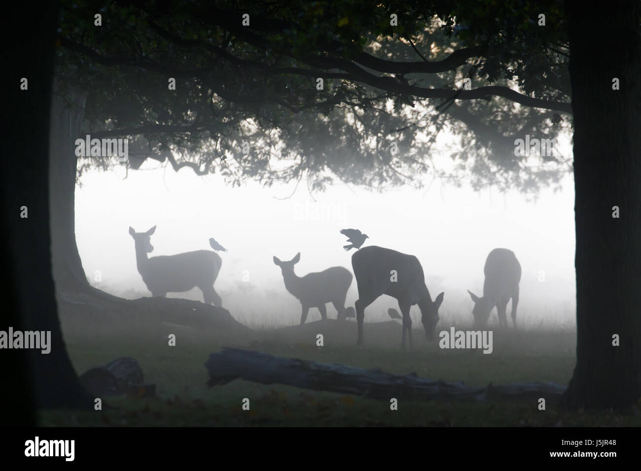 Silhouette of Red Deer (Cervus elaphus)  hinds or females grazing feeding or browsing in woods woodland with Jackdaw - Stock Image