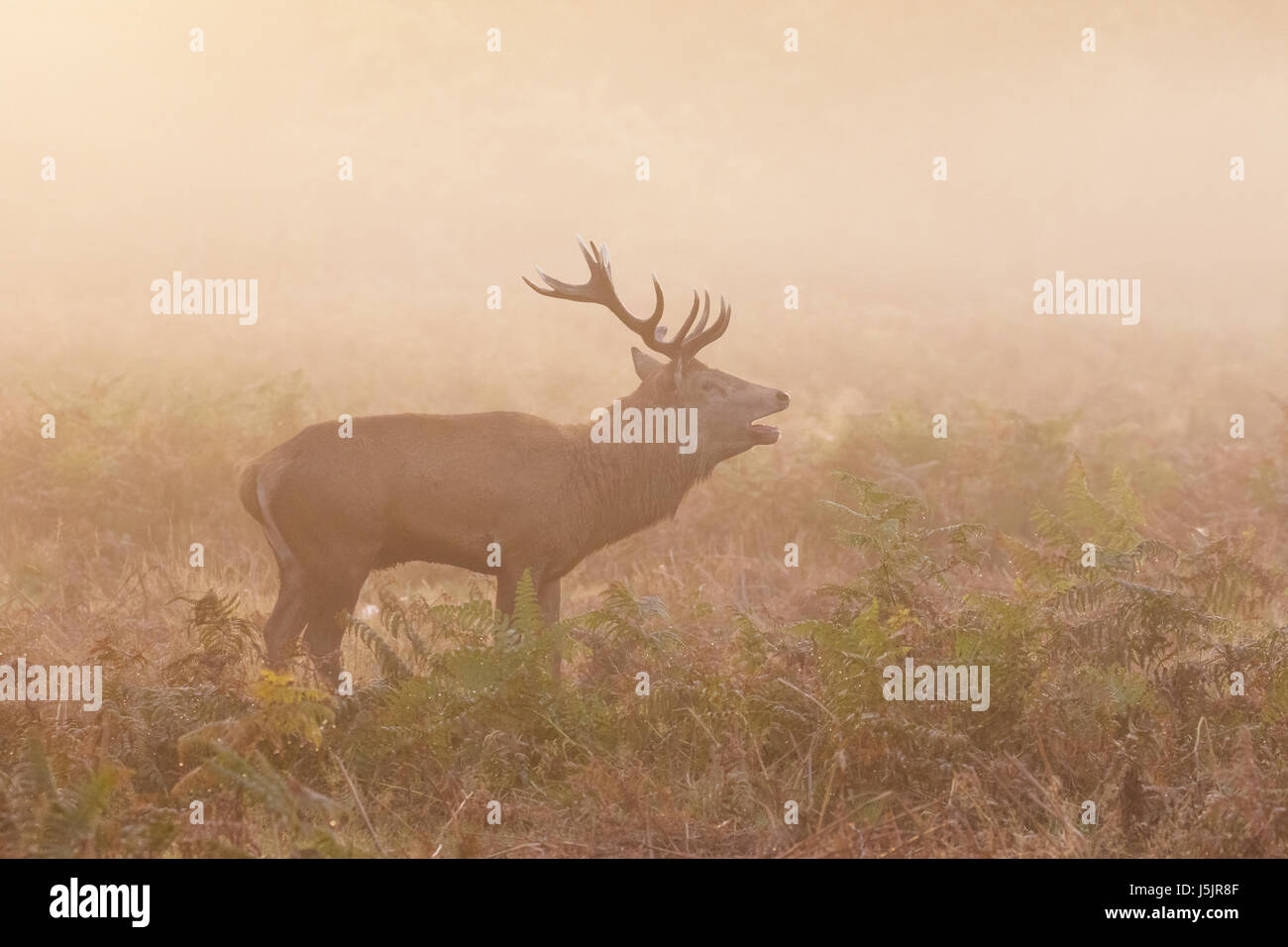 Red Deer stag (Cervus elaphus) roaring bellowing calling showing breath, on a cold morning - Stock Image
