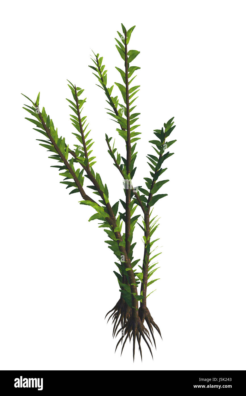 Dicroidium sp Plant - Dicroidium was a seed plant in Gondwana that lived in the Triassic to the Early Jurassic Periods. - Stock Image