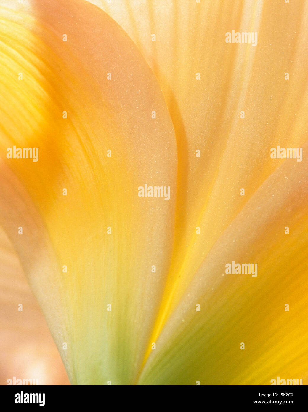 Soft light and flowing lines create an abstract image from a flowering Daylily. - Stock Image
