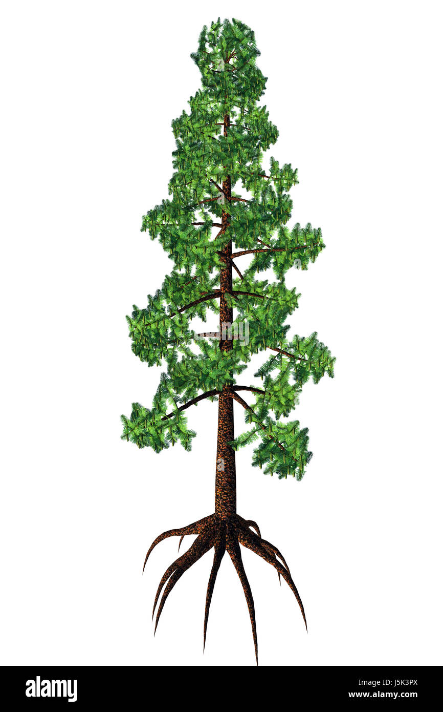 Wollemia was thought to be an extinct coniferous tree but was found to be living in Australia in 1994. - Stock Image