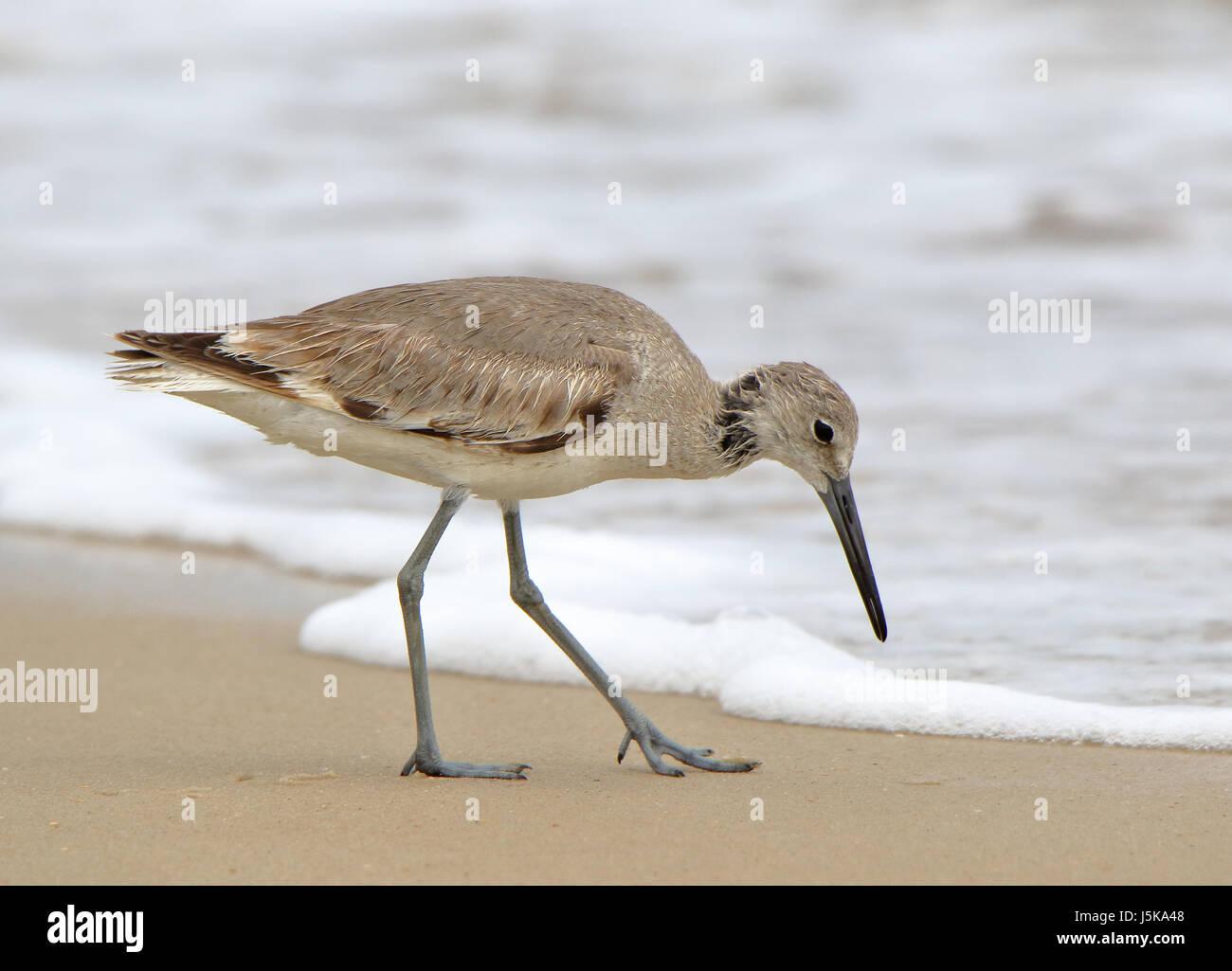 Shorebird (willet) walking in the surf in Florida Stock Photo