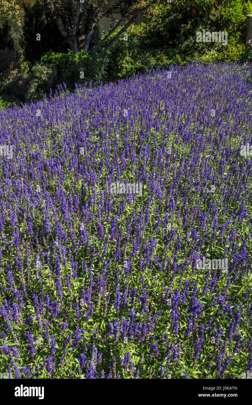 lavender, lavender in bloom, garden, Ferrari,Carano