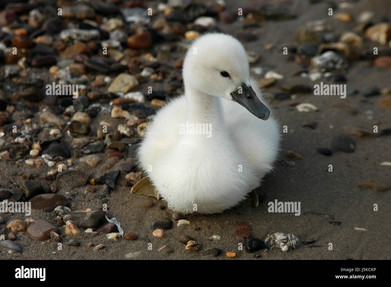waters bird rhine swan birds soft beak offspring feathering waterfowls Stock Photo