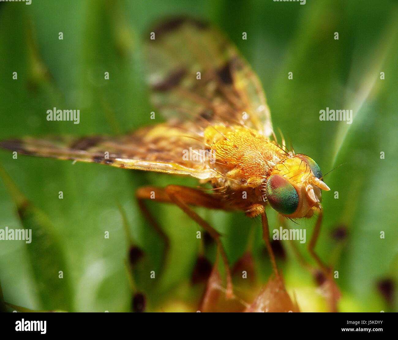 bohrfliege (gr. approximately 5mm) - Stock Image