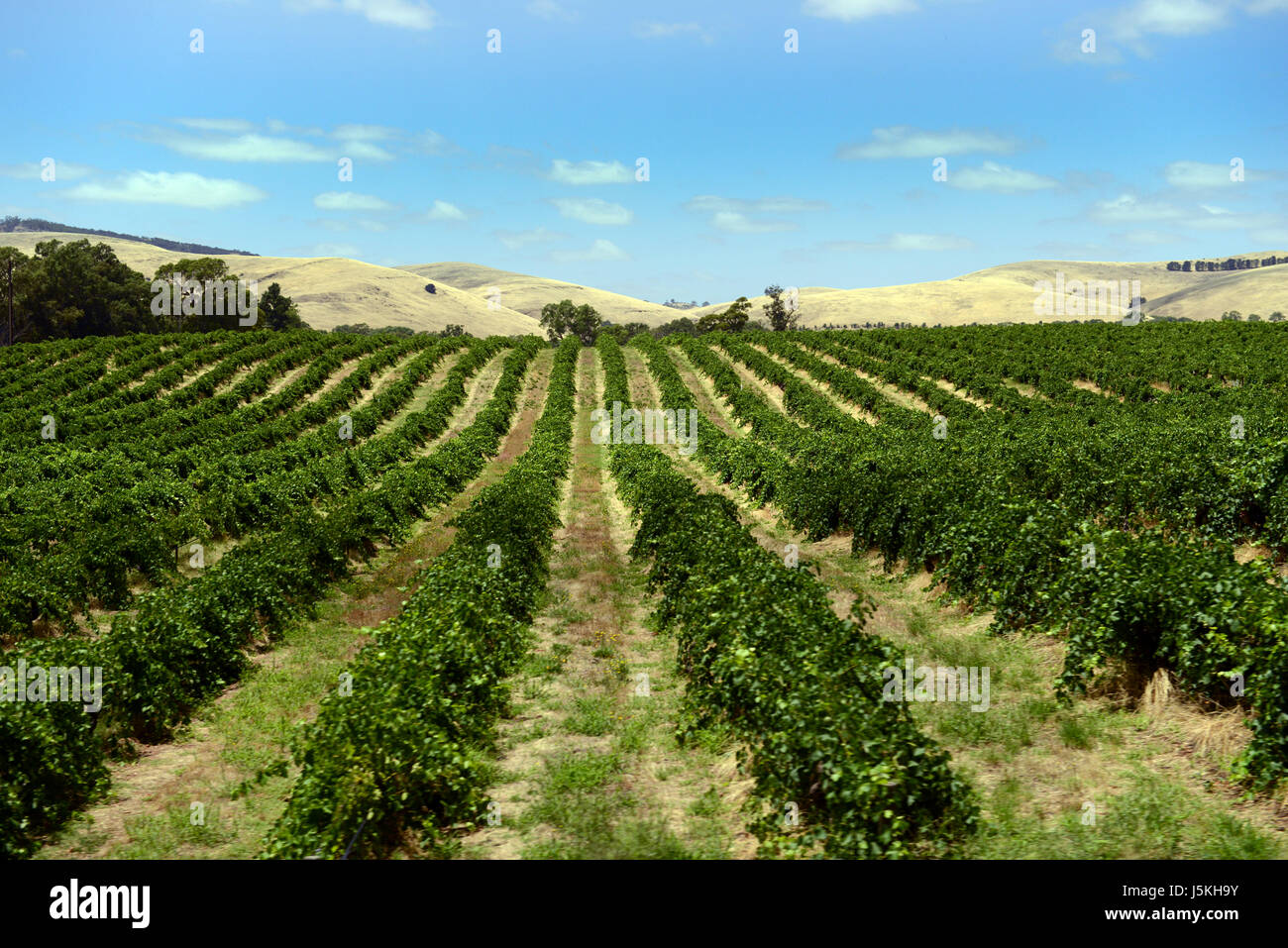 White wine grapes on vines in a vineyard in the Barossa valley in South Australia. - Stock Image